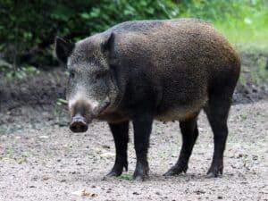 Bild på ett vildsvin